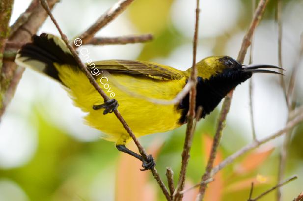 Birds Changi-03